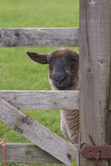 Lamb At Gate